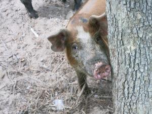 PigTree